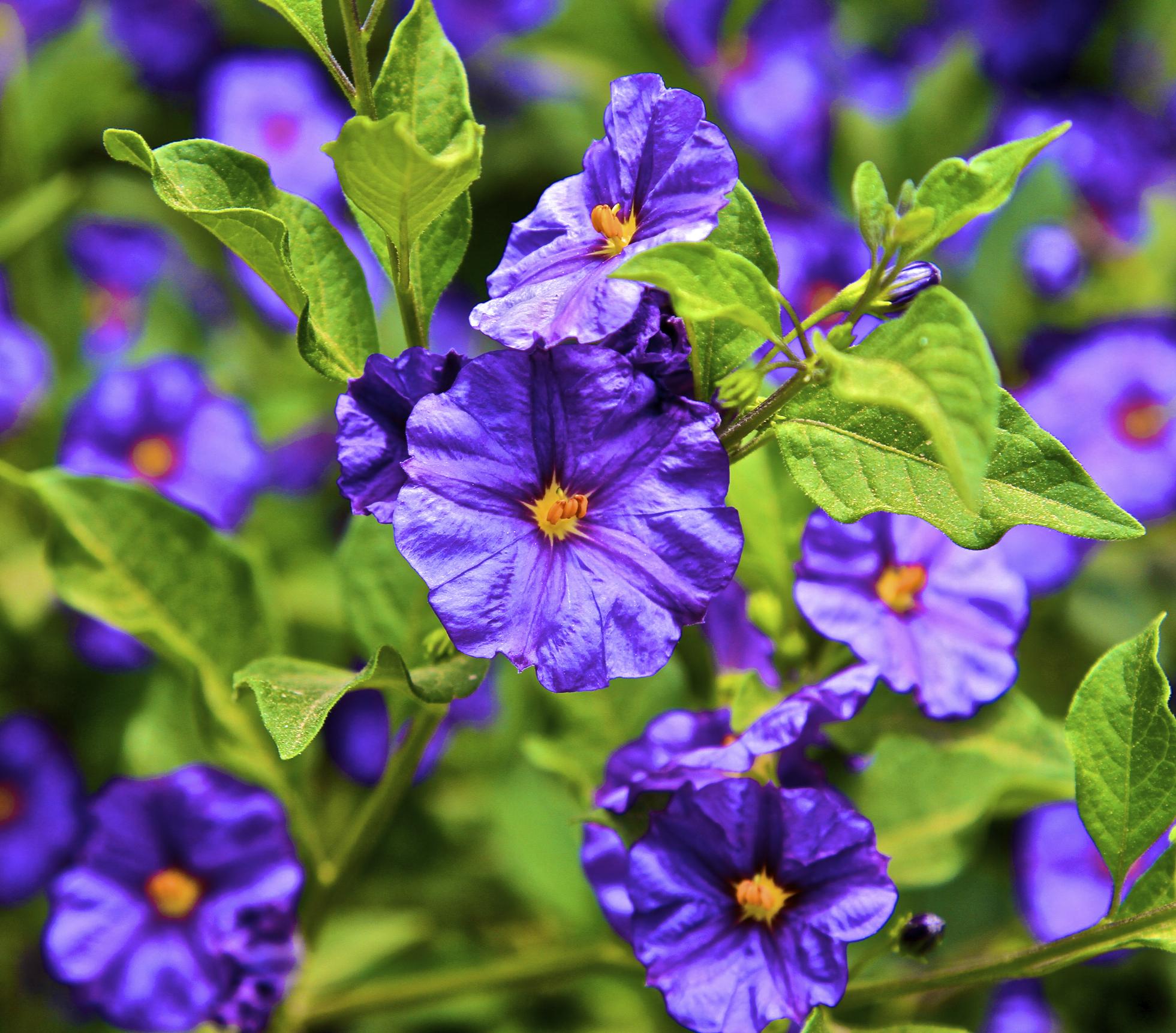 Blue solanum shrub israel beyond for Blue flowering bush